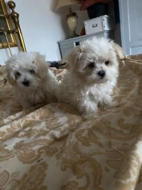 Beautiful Maltese pups with Lifetime of support