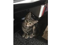 1 very loving male tabby kitten left to rehome READY NOW