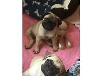 Beautiful Pug Puppies Ready Now