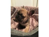 REDUCED Quality French bulldog puppies sired by Mr Choco Tan
