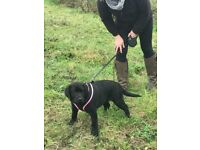 Labrador Bouncing Pedigree Pure Black Puppies **FULLY VACCINATED**