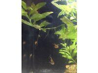 Baby Platy fish **FREE**
