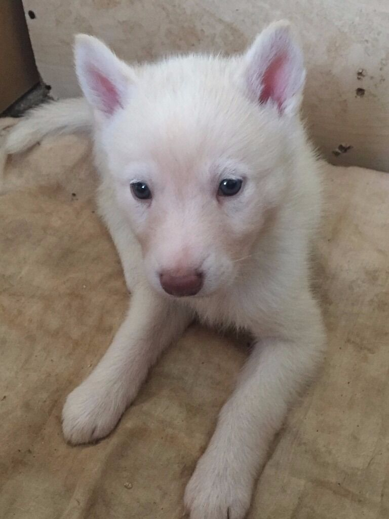Huskita Puppies For Sale In Donnington Shropshire Gumtree