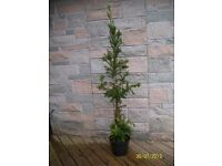 YEW hedging in 10 litre pots the average height is 1.2 metres high.