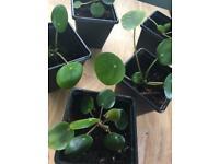 Pilea Peperomia money plant / UFO houseplant