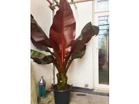 Giant red banana