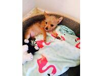chihuahua&yorki cross puppy