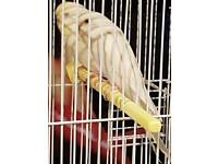 Baby budgies and cage £65 OVNO