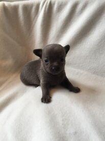 Beautiful KC Blue Chihuahua girl left !!