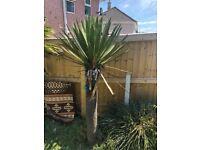 Gorgeous mature palm trees