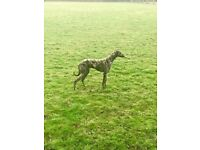 Dark brindle lurcher