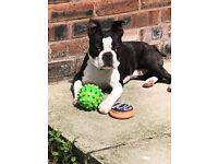 9 month old Boston terrier
