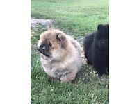 Amazing chow chow puppies