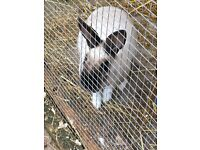Rabbits for sale family of five or individual or in couple