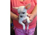 Tiny chihuahua girl. Beautiful cream coloured girl really tiny 9 weeks old ready now £450