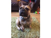 CHEAPER IF PICKED UP TODAY ⭐️KC REG/HEALTH TESTED FRENCH BULLDOG