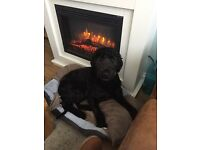 Labradoodle needs rehoming