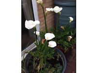 Pond Lilies for Sale ~ £10 Each