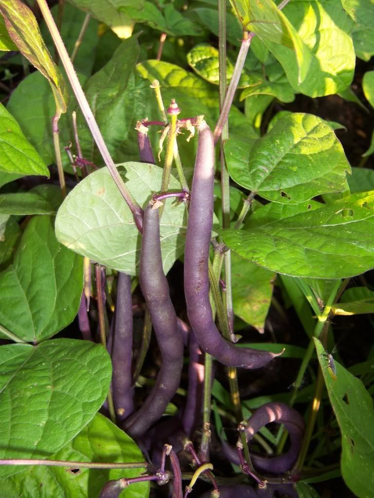 how to cook purple french beans
