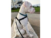White Male Boxer Puppy Dog (full pedigree)
