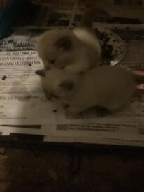 British shorthair kittens lilac/cream/dark brown £380