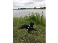 12 month old patterdale for sale