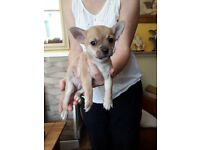 Must See… Last Chihuahua Puppy Left...
