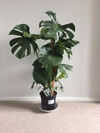 Large healthy cheese plant monstera