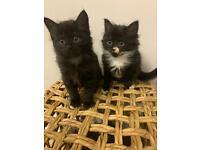 Long haired kittens
