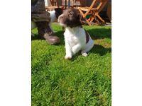 Springer Spaniel Pup for sale