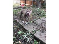 Staffordshire Terrie Mixed with American Bully
