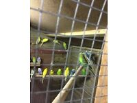 Budgies for pets