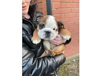 Two English Bulldog Puppy Boys Fully Registered