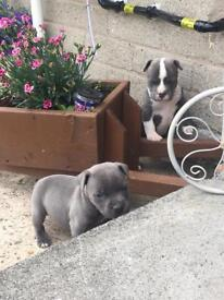 Blue Staffordshire bull terriers pups