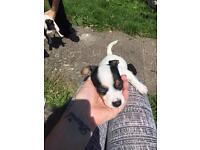 Mini jack Russell puppys