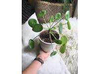 Happy pilea plant houseplant in white pot