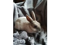Smoke pearl mini Rex Rabbits