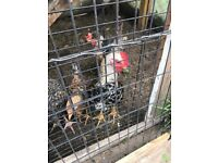 Chicken Rooster for sale