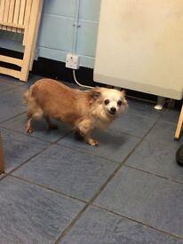 Female Chihuahua for sale.