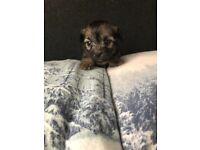 6 adorable shih tzu cross Yorkshire terrier puppies for sale