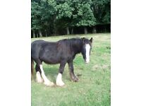 Clydesdale x yearling for sale