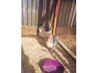 2 sussex hens + 1 white rooster FOR SALE