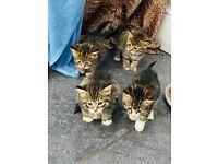 Beautiful fluffy tabby bengal cross kittens