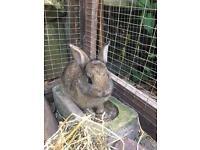 Brown Baby Netherland Dwarf Rabbit For Sale