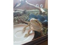 2 Baby Bearded Dragons and Tank