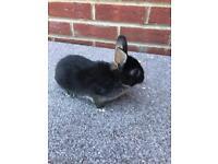 Baby Netherland dwarf rabbit (boy)