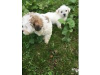 Lhasa Apso Dogs Amp Puppies For Sale Gumtree