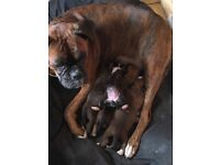4 Gorgeous Boxer Puppies