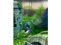 Tropical fish DUMBO EAR SIAMESE MALE BETTA FIGHTER FISH