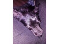 Beautiful chihuahua boy for sale.